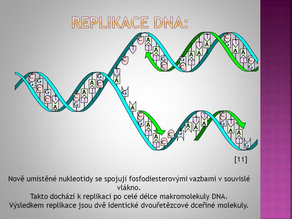 Replikace dna: [11] Nově umístěné nukleotidy se spojují fosfodiesterovými vazbami v souvislé vlákno.